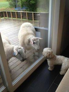 dog looking thru window at sheep