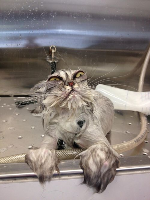 grumpy cat in sink
