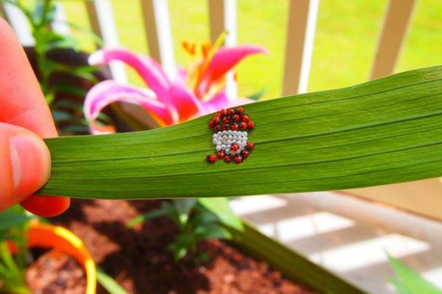 hatching ladybugs