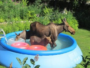 moose in pool