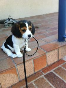 puppy with leash