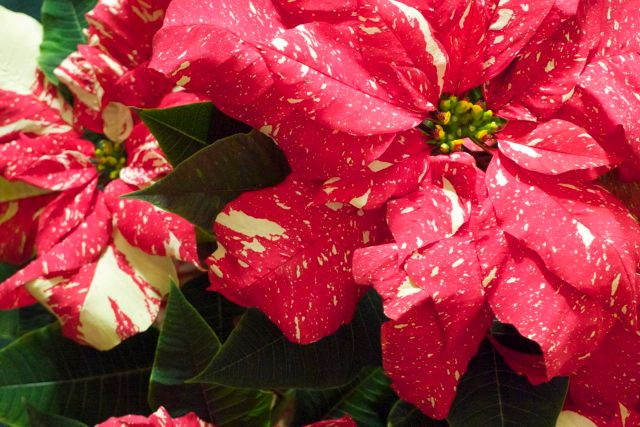 poinsettias spotted