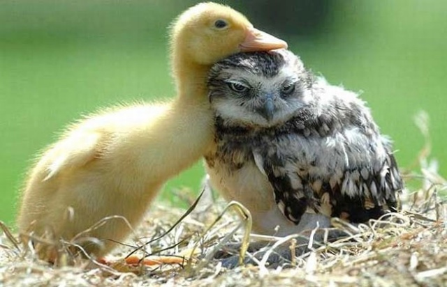 duck loves owlet