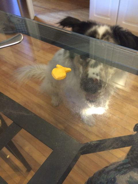 See the goldfish cracker on the table. Buddy sees it too. Buddy does not understand why it is not on the floor, but hanging in mid-air. Buddy does not understand glass-topped tables. We love him anyway.