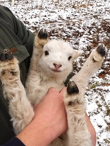 baby lambgoat in arms