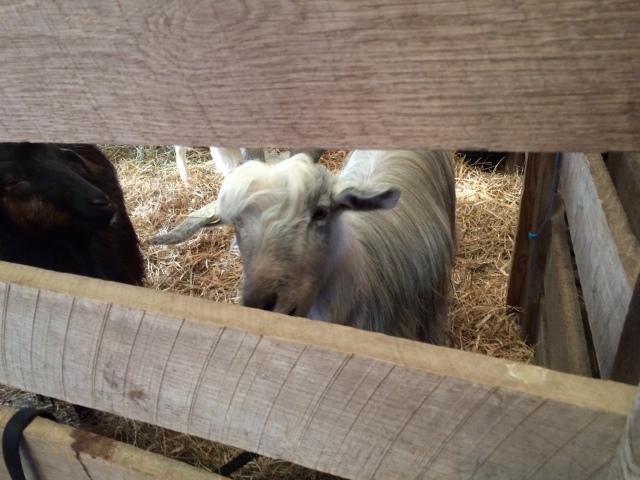 Goatie 1