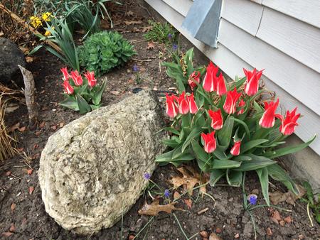 rock w redwht tulips