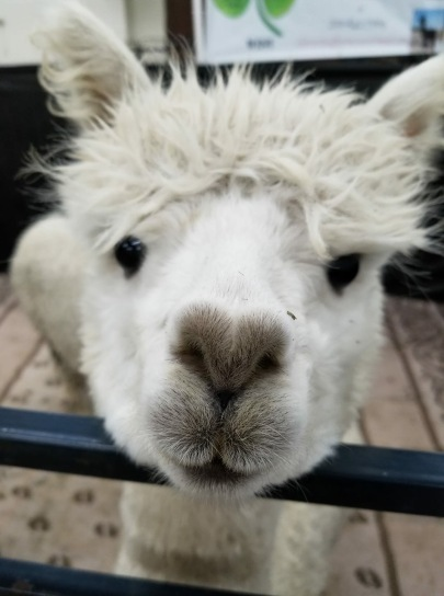 alpaca heart nose
